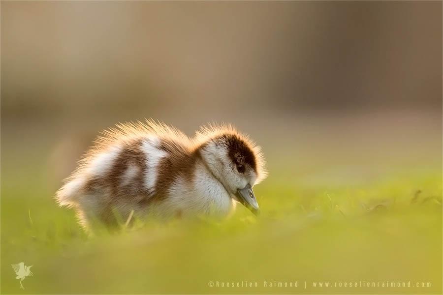 Backlit baby Gosling