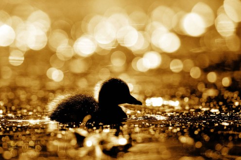 Duckling silhouette reflected in the water