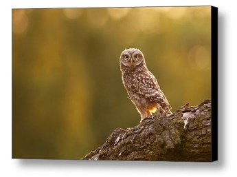 fineart_little_owl