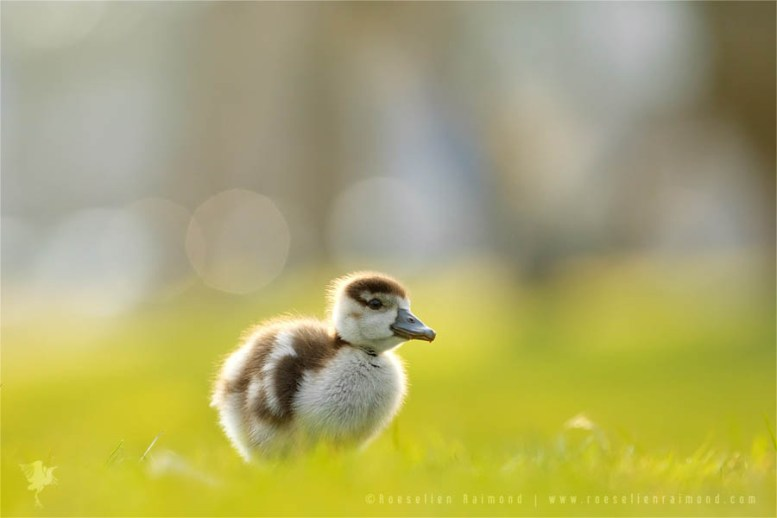 Gosling in beautiful light