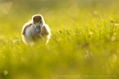 Alopochen aegyptiaca egyptian goose gosling