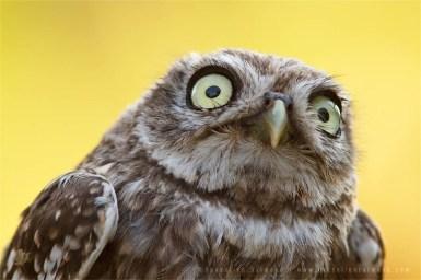 Portrait of a juvenile Little Owl (Athene noctua)