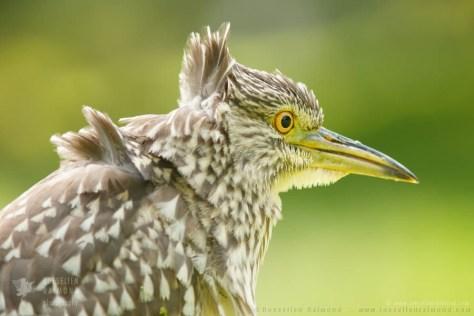 black-crowned night heron,Nycticorax nycticorax,night heron,portrait,plumage