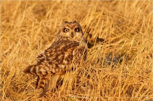 Bird photography Short-eared Owl camouflage Asio flammeus