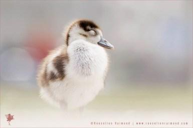 Alopochen aegyptiaca egyptian gosling