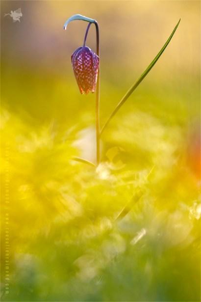 Snake's Head Fritillary chess flower fritillaria meleagris sundown