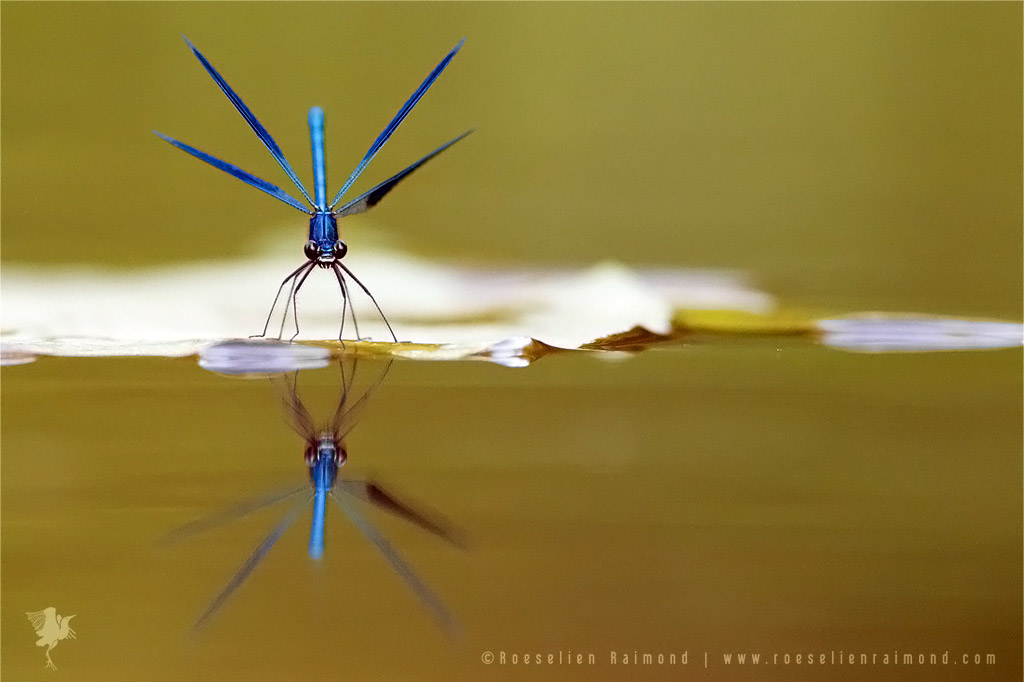 Banded Demoiselle reflected in the water surface