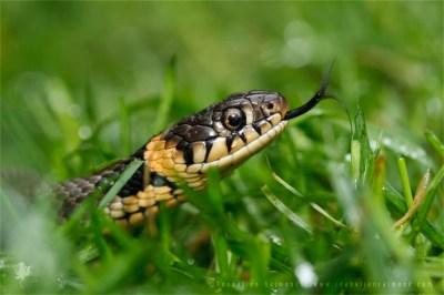 Grass snake Natrix natrix