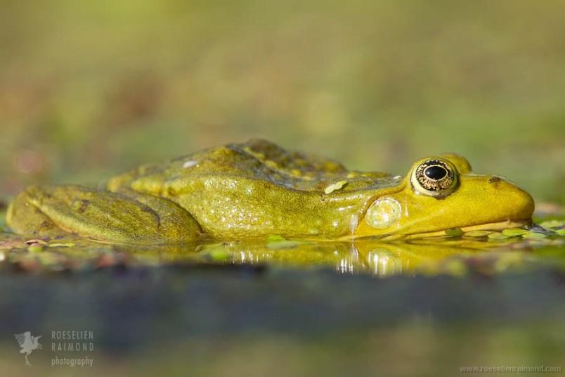 Meerkikker Pelophylax ridibundus Pool frog marsh frog mating