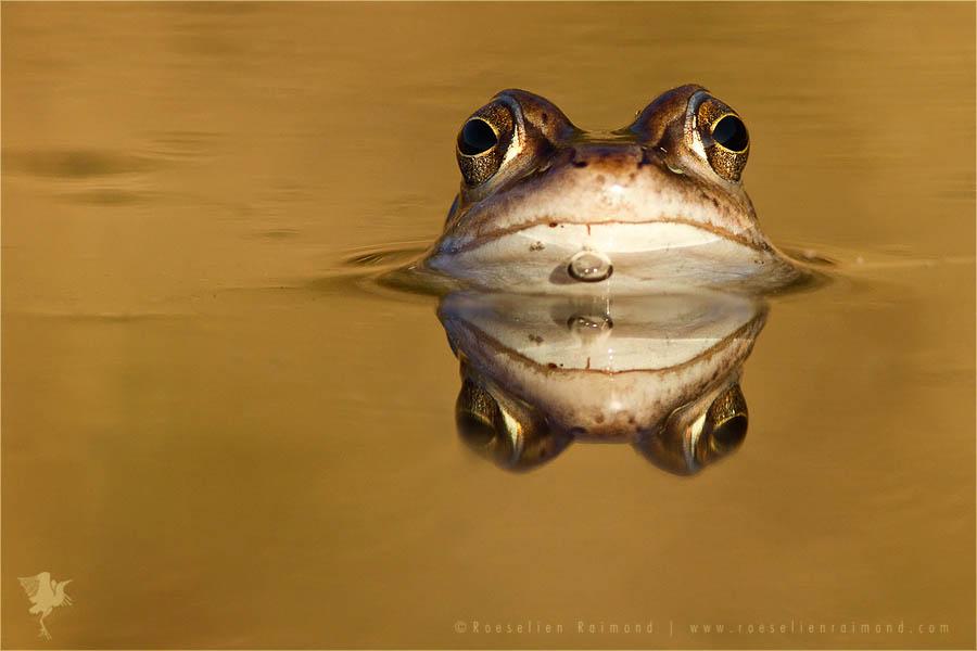 Moor Frog rana arvalis water blue
