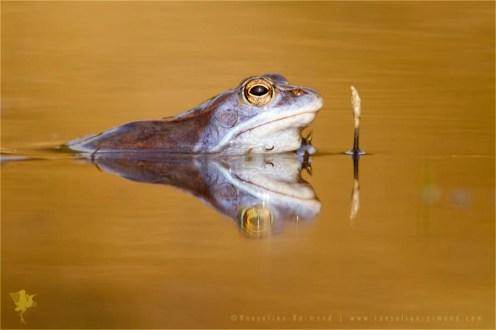 wildlife Moor frog Rana arvalis blue amphibians