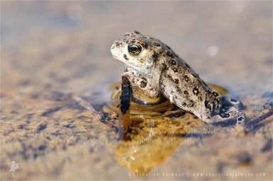 Natterjack toad Epidalea calamita Bufo calamita juvenile Juveniele rugstreeppad