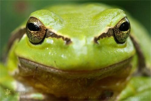 wildlife European Tree Frog Hyla arborea