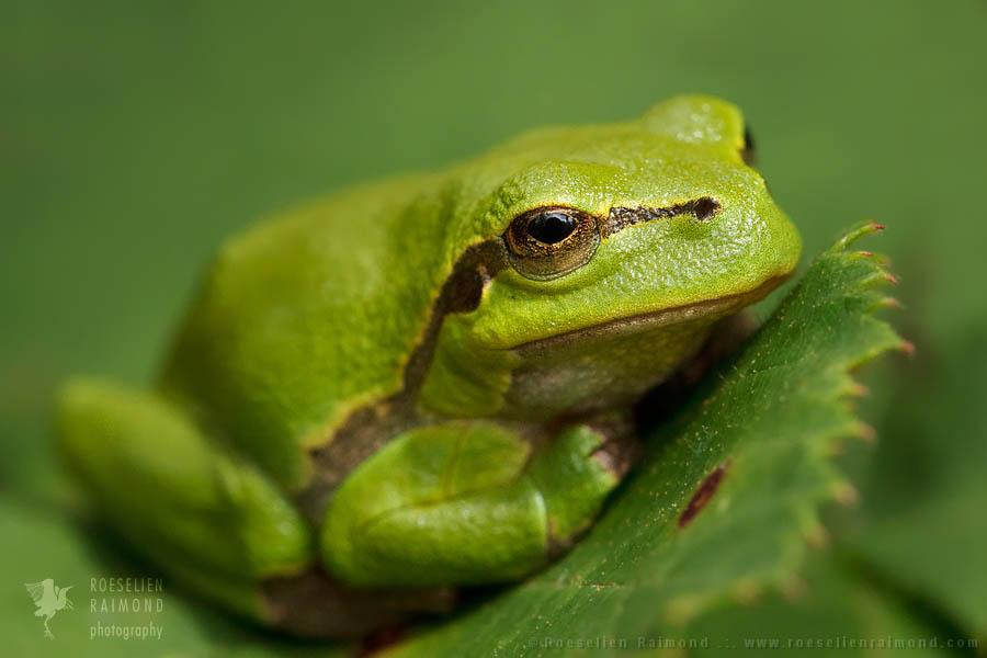 tree frog,European tree frog,Hyla arborea,Rana arborea,