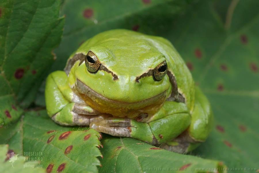 Hyla arborea tree frog