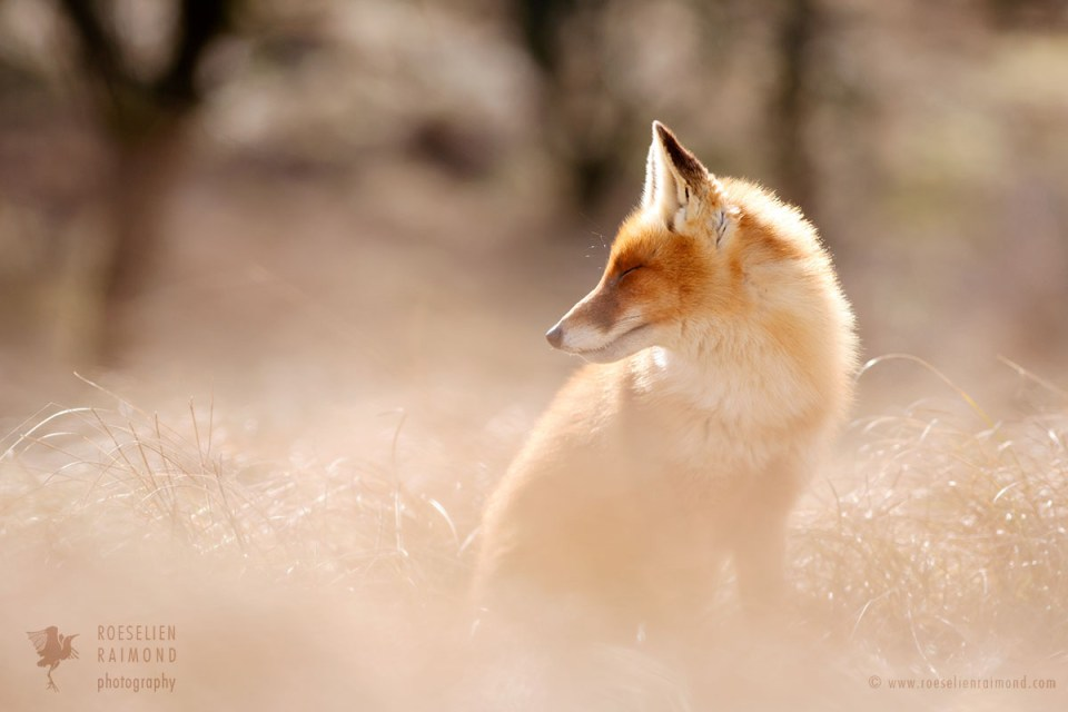 red fox in the warm sun light