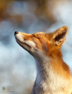 Zen Fox Series: The Mindful FoxRed fox mindfully enjoying the moment