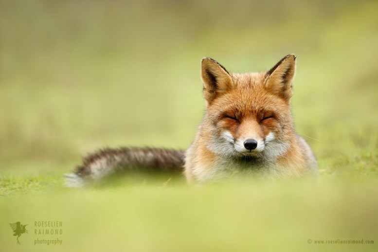 red fox being comfortable