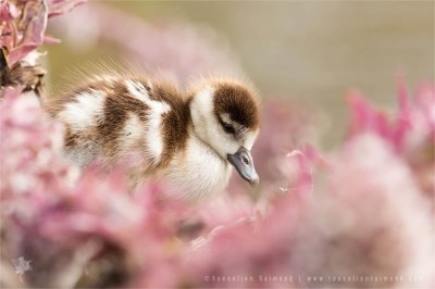 Gosling in Pink