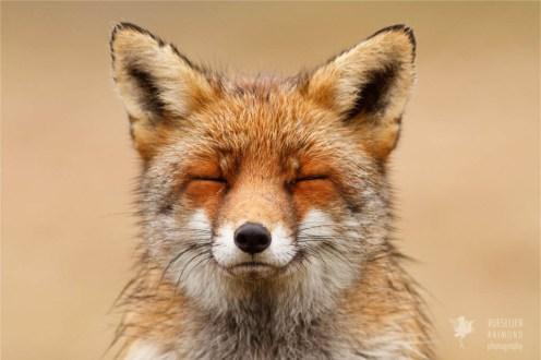 Zen foxes portrait of a red zen fox photo art fine art