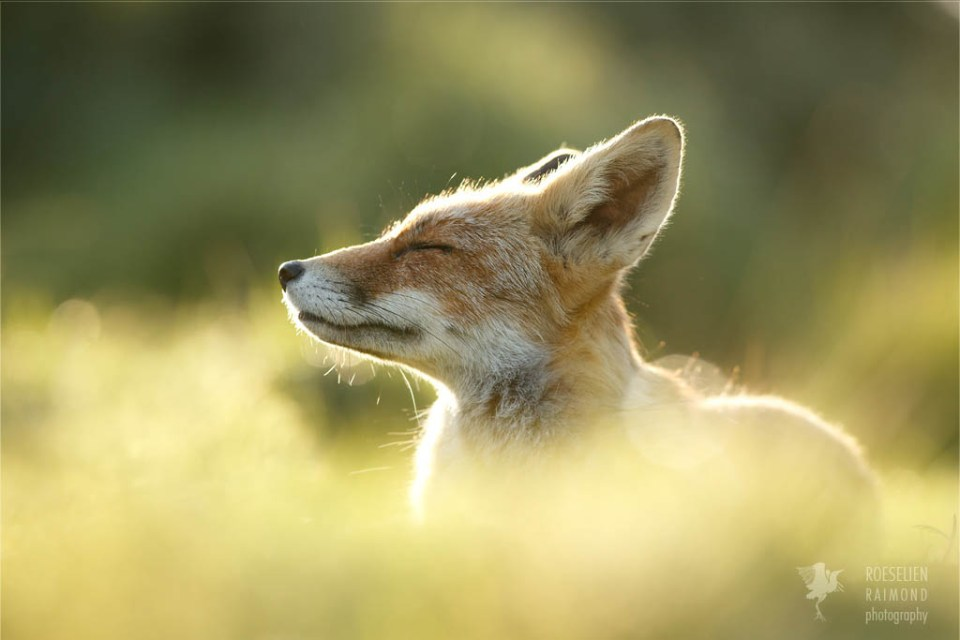 Zen foxes Red fox enjoying the moment photo art fine art