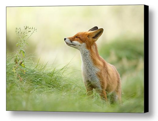 Zen foxes fine art