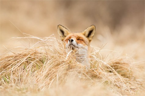zen fox series: red fox at ease photo art fine art