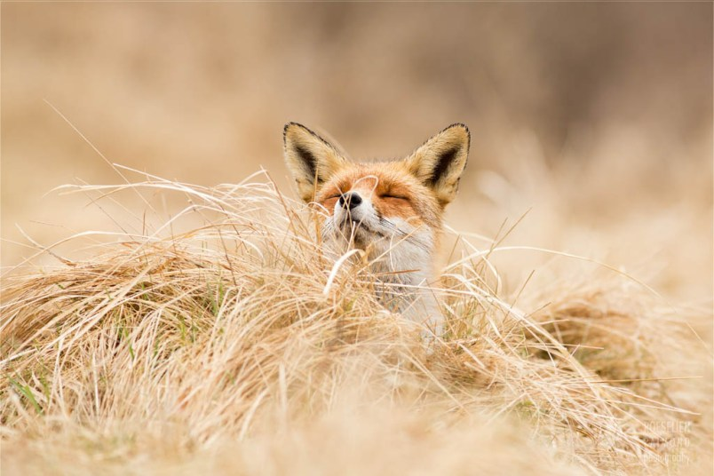zen fox series: red fox at ease photo art fine art