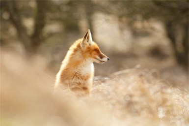 Zen foxes: red fox being comfortable