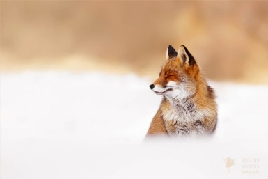 zen foxes: red fox being very relaxed in the snow