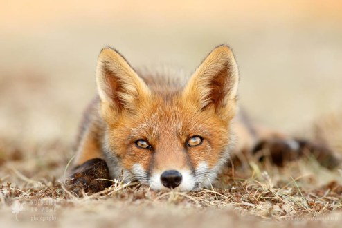 fox kit photo fine art wall decoration