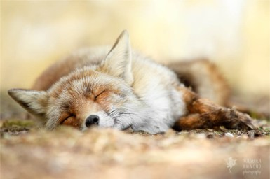 Sleeping red fox fineart