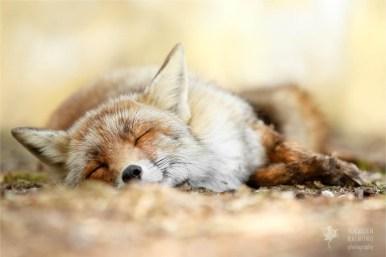 Sleeping red fox fineart