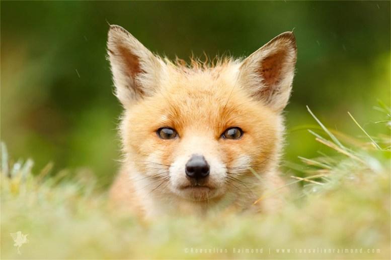 _X1B6739_fox_cub
