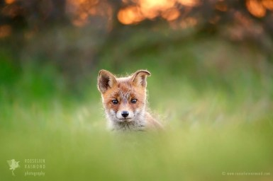 Baby red fox in the grass