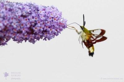 broad-bordered bee hawk-moth Hemaris fuciformis