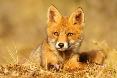 Cute red fox kit sunset