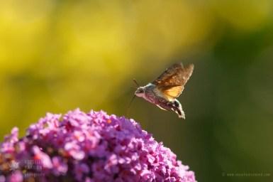 Hummingbird moth Macroglossum stellatarum