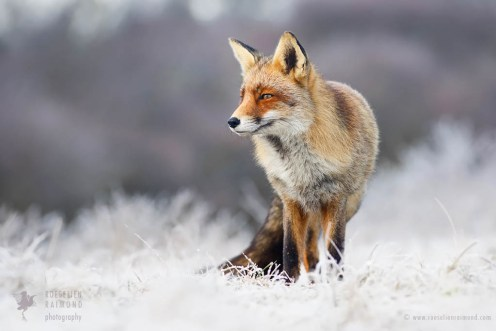 Red Fox in the Rime frost winter snow