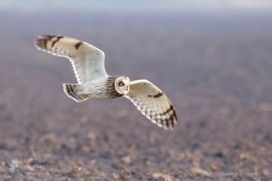 Flying short-eared owl (Asio flammeus)