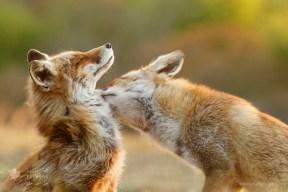 fox sister love
