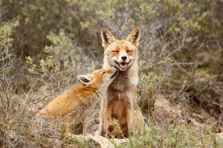 Vixen and her fox cub
