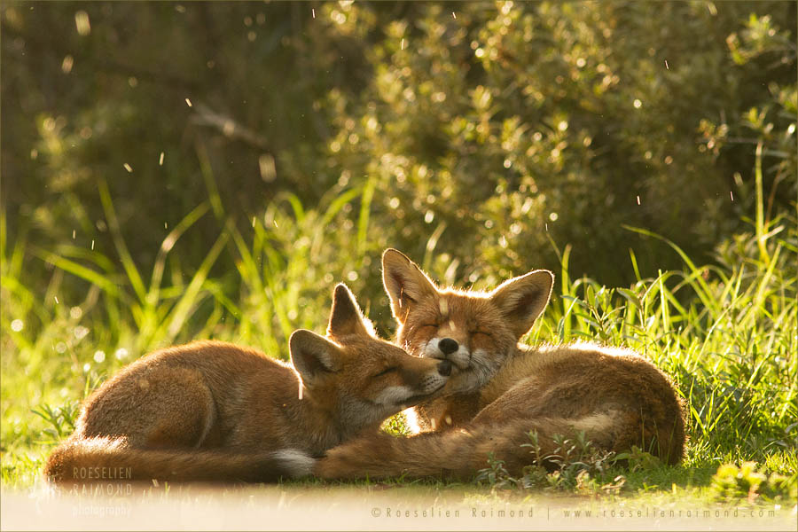 grooming love affection red foxes