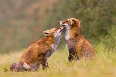 Foxy Love – a story affection between foxes