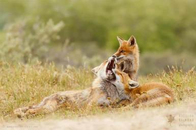 red foxes family kits playing love fun