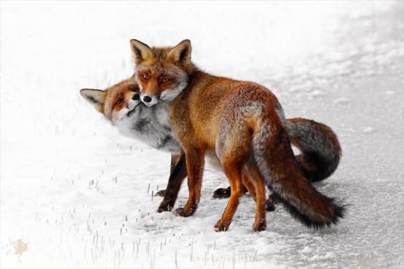 red fox love snow