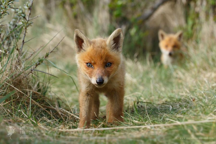 Curious red fox cub