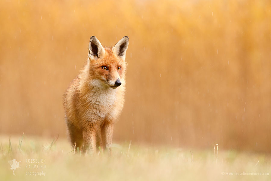 Red fox fineart