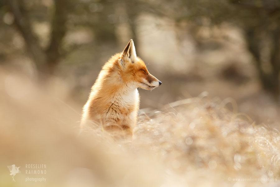 Beautiful Red Fox in Zen State