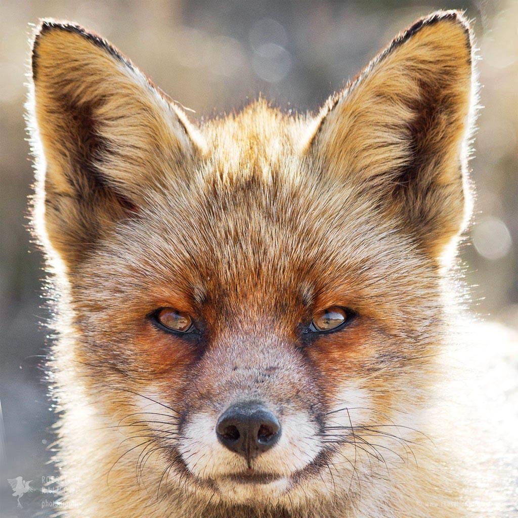 Old Dog Fox